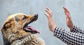 A male German shepherd bites a man
