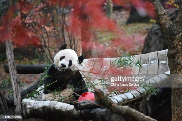 Male giant panda Bei Bei makes its last appearance at the Smithsonian's National Zoo on November 19 2019 in Washington DC Bei Bei will depart the zoo...