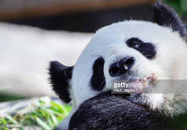 Male giant panda Jiao Qing is pictured in his enclosure at the Zoologischer Garten zoo in Berlin on September 2, 2019. - Jiao Qing became a father....