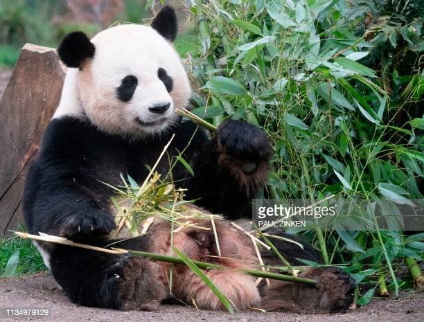 Male giant panda Jiao Qing nibbles a bamboo twig on April 5, 2019 at the Zoologischer Garten zoo in Berlin. / Germany OUT
