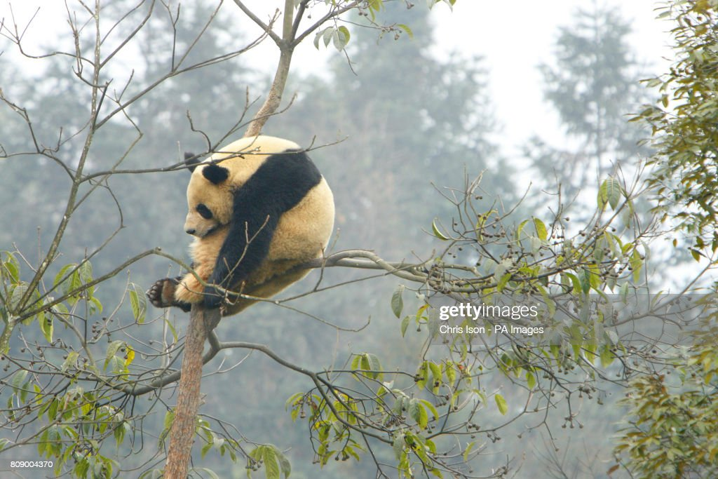 Pandas for Edinburgh Zoo : News Photo