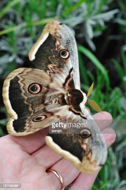 Male Giant Peacock Moth on woman's hand