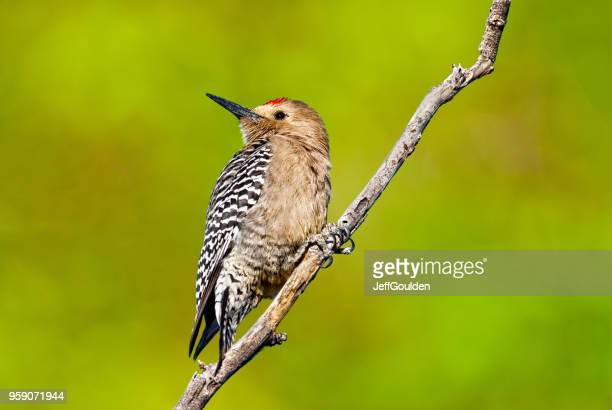 Male Gila Woodpecker