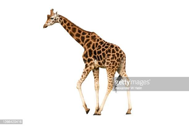 male giraffe - giraffe stock pictures, royalty-free photos & images