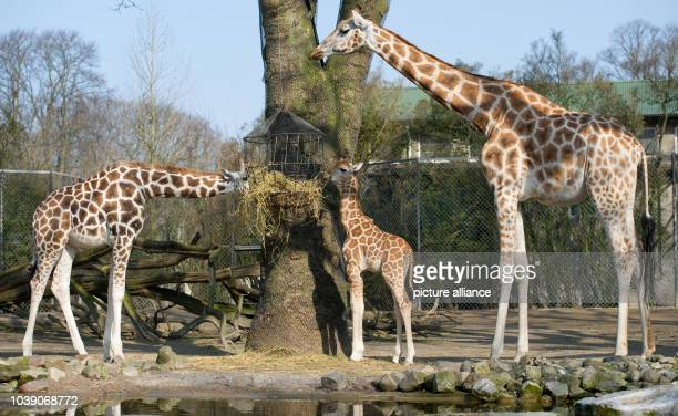 Male giraffe Tamu explores the giraffe compound in the Tierpark Hagenbeck inHamburg Germany 16 April 2013 The young giraffe was allowed to the...