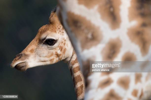 Male giraffe Tamu explores the giraffe compound in the Tierpark Hagenbeck in Hamburg Germany 16 April 2013 The young giraffe was allowed to the...