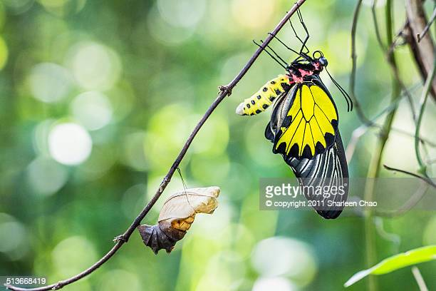 Male Golden Birdwing Eclosion