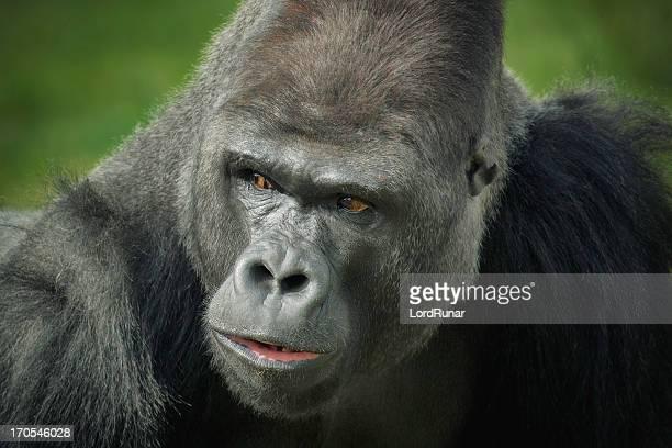 gorila macho - gorila lomo plateado fotografías e imágenes de stock