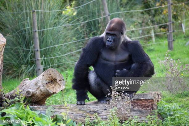 male gorilla - wildlife reserve stock photos and pictures