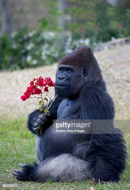 male gorilla with bouganvillea flowers. - funny monkeys stock pictures, royalty-free photos & images