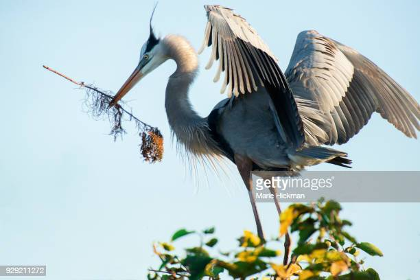 Male Great Blue Heron bringing stick to female Great Blue Heron, not shown in photo, for nest building, in Wakodahatchee Wetlands, Florida.