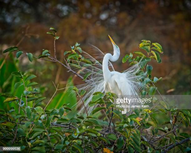 a male great egret in breeding plumage displays itself hoping to attract a mate. - delray beach stock photos and pictures