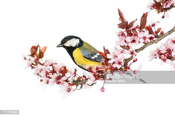 Male great tit perched on a branch, Parus major