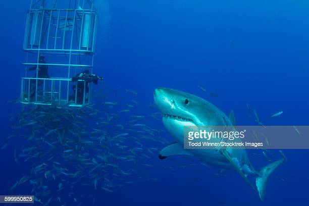 Male great white shark and divers, Guadalupe Island, Mexico.