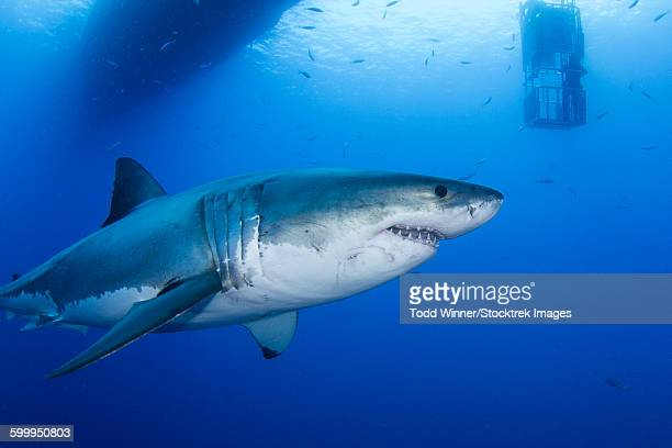 Male great white shark, Guadalupe Island, Mexico.