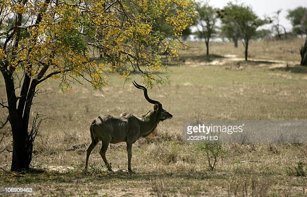 A male Greater Kudu a species of woodland antelope stands alert in Selous Game Reserve southern Tanzania 02 September 2007 The Selous Game Reserve is...