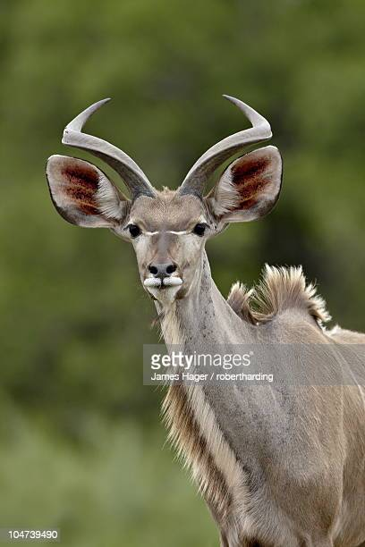 Male Greater Kudu (Tragelaphus strepsiceros), Kruger National Park, South Africa, Africa
