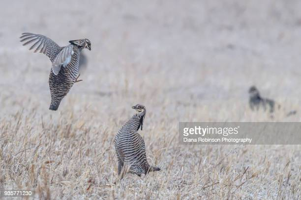 Prairie Chicken Stock Photos And Pictures