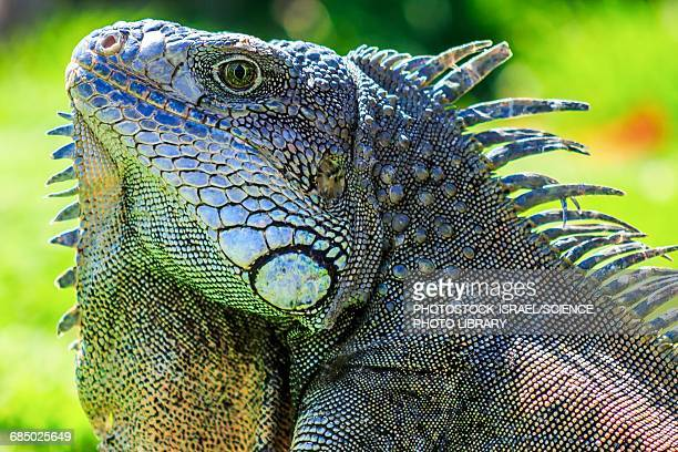 male green iguana iguana Iguana