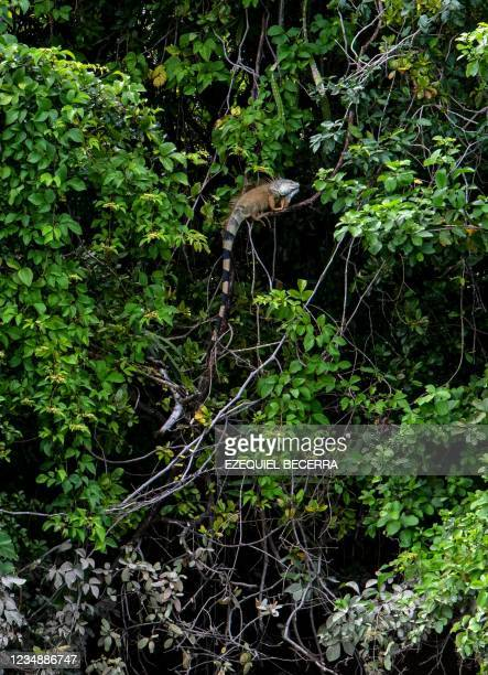 Male green iguana is seen by the Tempisque River, in Guanacaste, Costa Rica, on August 26, 2021. - Costa Rica has recovered in the period from...