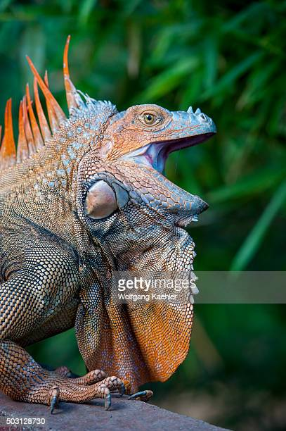 A male Green iguana with colorful breeding colors in the rainforest near the Arenal Volcano in Costa Rica