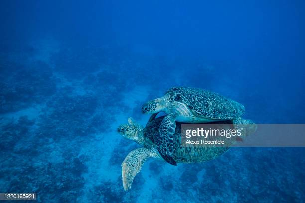 A male green sea turtle attaches himself to the back of a female's shell by gripping her top shell with claws in his front flippers and folds his...
