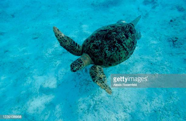 Male green sea turtle swimming during breeding season on April 21 North of Madagascar, Indian Ocean. Chelonia mydas is listed as endangered by the...