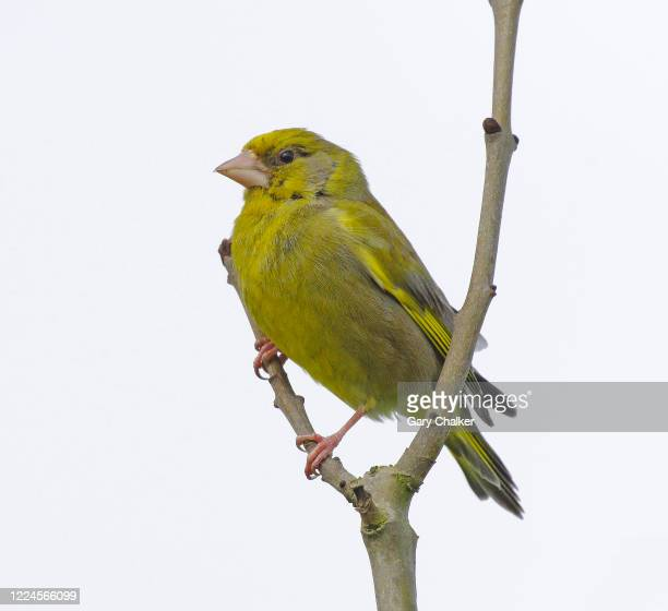 a male greenfinch [chloris chloris] - male animal stock pictures, royalty-free photos & images