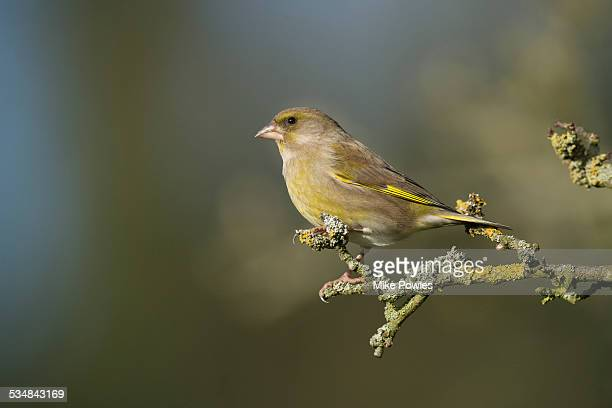 male greenfinch on lichen covered branch - male animal stock pictures, royalty-free photos & images
