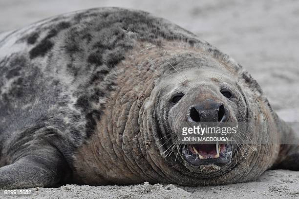 A male Grey Seal shows his teeth as he lies on the beach on the north Sea island of Helgoland Germany on December 14 2016 As the mating season starts...
