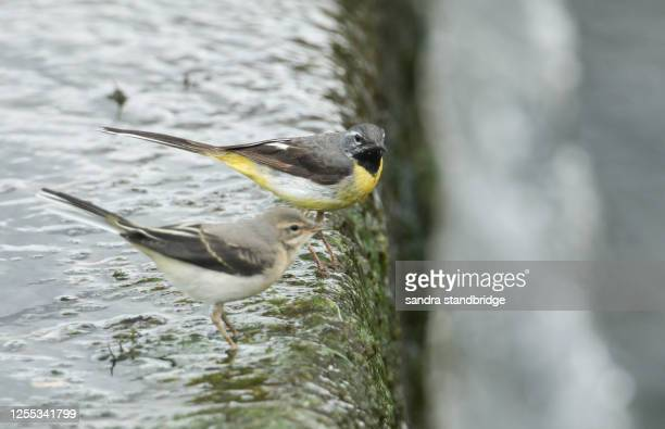 a male grey wagtail, motacilla cinerea, and its baby are hunting for food to eat on top of a weir. - stream stock pictures, royalty-free photos & images