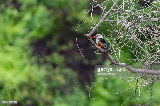 male grey-headed kingfisher (halcyon leucocephala) at curral grande, fogo island, cape verde, africa - gray headed kingfisher stock pictures, royalty-free photos & images
