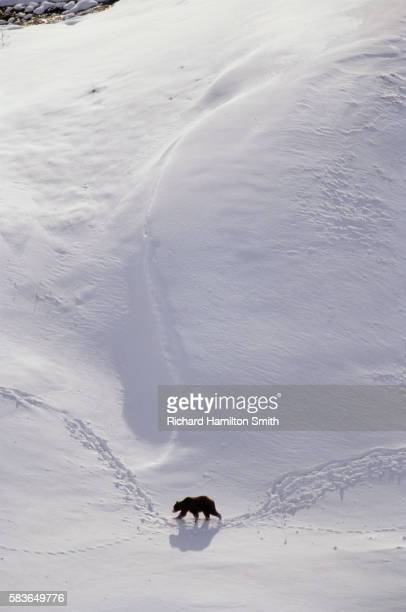 Male Grizzly Bear Walking in Snow
