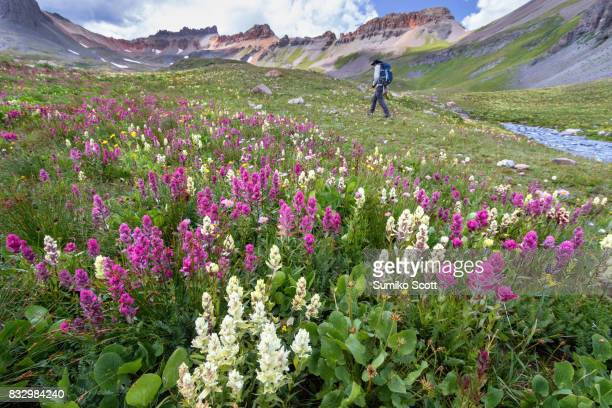 Male hiker walking in the wildflower field on Ice Lake Trail, San Juan Mountains near Silverton, Colorado