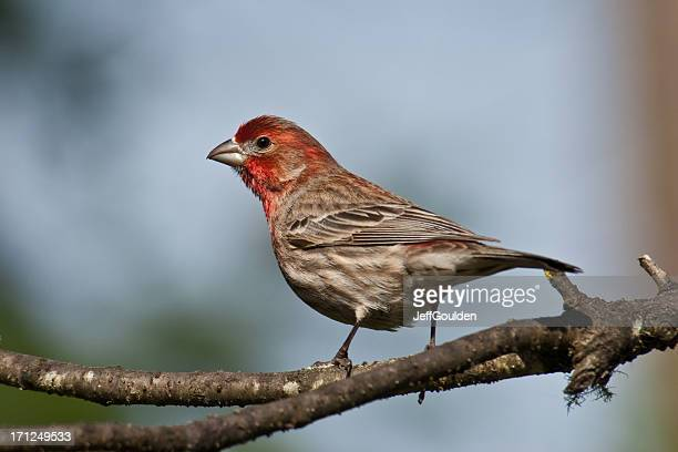 male house finch perched on a branch - jeff goulden stock pictures, royalty-free photos & images