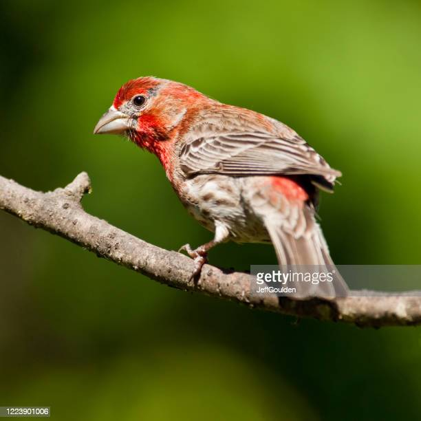 male house finch - jeff goulden stock pictures, royalty-free photos & images