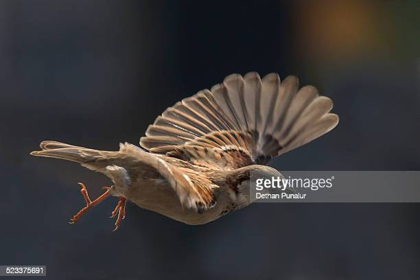Male house sparrow flying