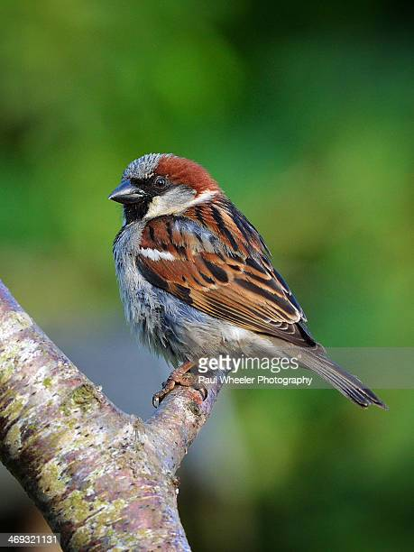 Male House Sparrow on a Branch