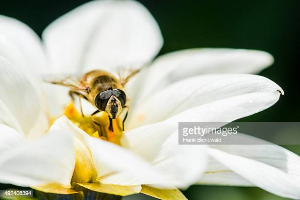 A male Hoverfly is collecting nectar from a Dahlia blossom