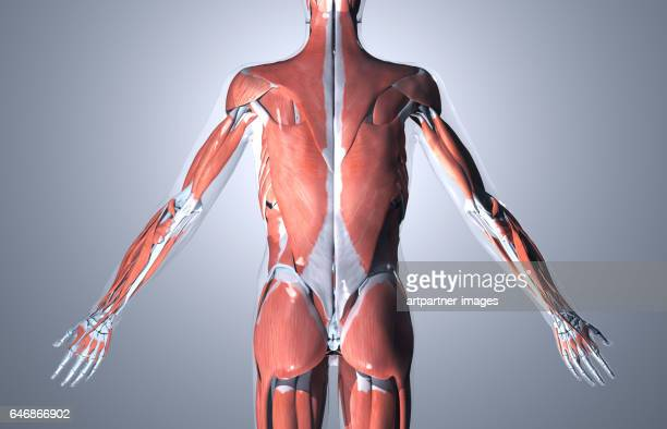 male human muscular system, illustration