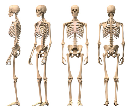 Male Human skeleton, four views, front, back,side and perspective. 135853422