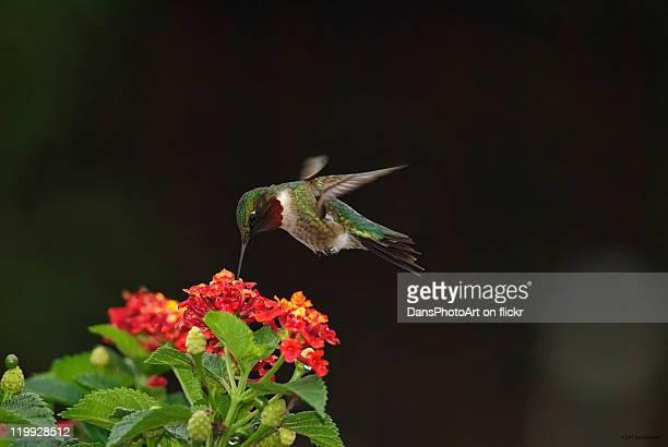 Male Hummingbird feeding on Lantana