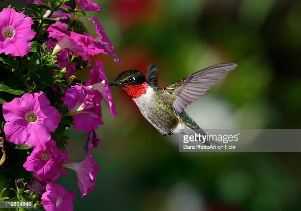 Male Hummingbird Feeding on Petunias
