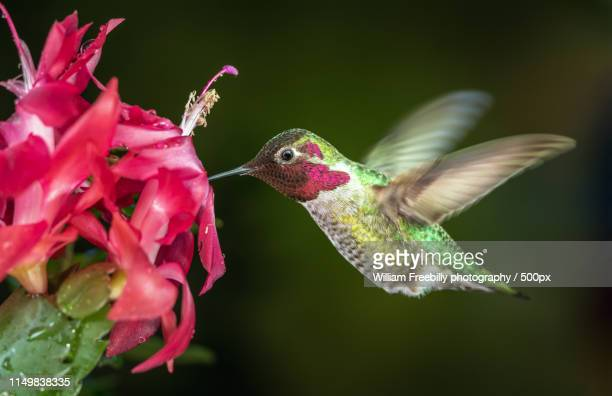 male hummingbird visits pink flowers with dark green background - シャコバサボテン ストックフォトと画像