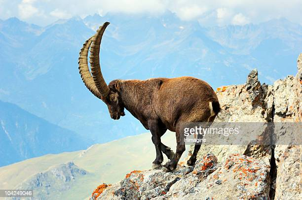 Male ibex in the Vanoise National Park