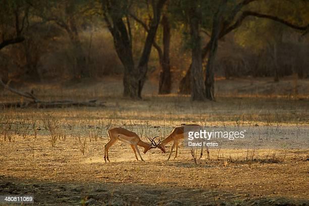 Male impala fighting, Mana Pools national park, Zimbabwe, Africa