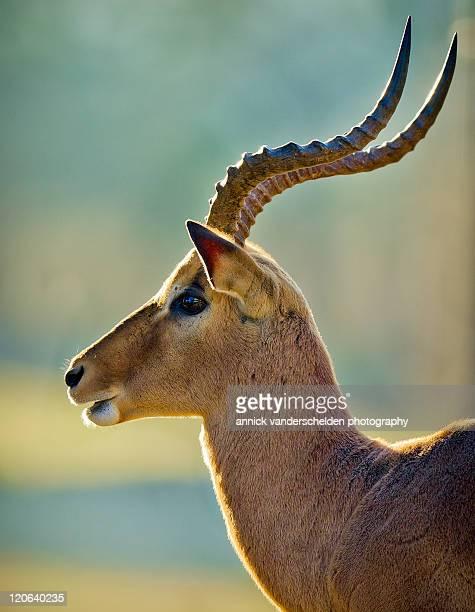Male Impala in sunrise light
