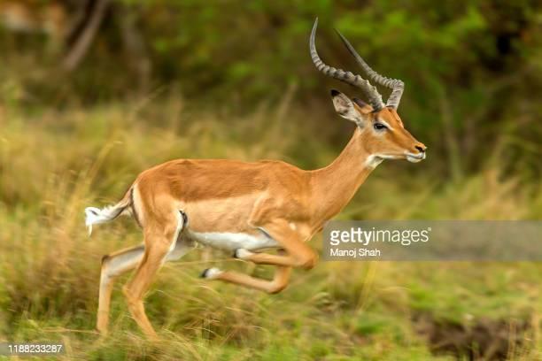 male impala jumping and running - 動物の雄 ストックフォトと画像