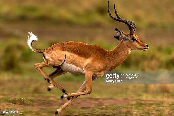 male impala leader showing off his supremacy - 動物の雄 ストックフォトと画像