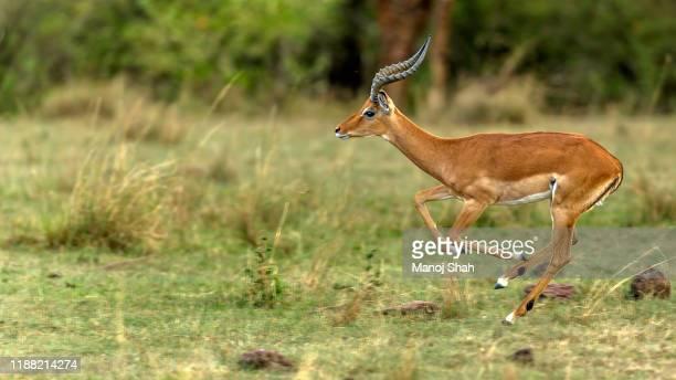 male impala on the run in masai mara - 動物の雄 ストックフォトと画像